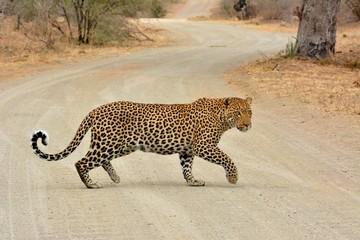leopard crossing road