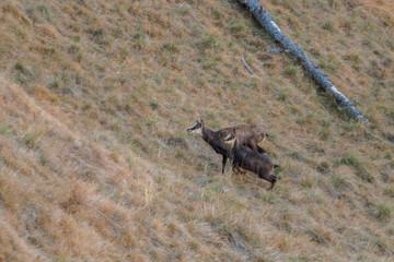 Camoscio, Parco Nazionale del Gran Paradiso, Aosta, Valle d'Aosta, Italia