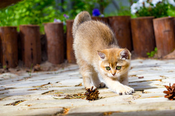 A cute Golden British kitten stretches out walking in the garden on a sunny summer day and looks at a pine cone lying next to it.