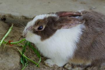 Psoroptic ear mange of rabbits.Close up rabbit.