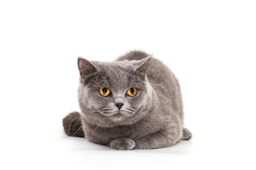 Beautiful blue cat on a white background. Purebred cat, British.