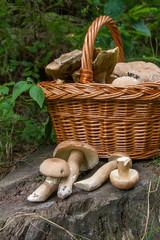 Several porcini mushrooms (Boletus edulis, cep, penny bun, porcino or king bolete) and wicker basket on wooden background..