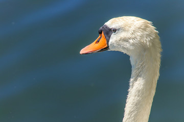 Majestic Swan, Portrait, close-up face