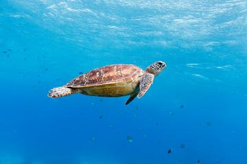 Fotorolgordijn Schildpad Green turtle (Chelonia mydas) Apo Island, Philippines