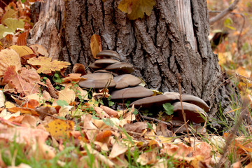 mushrooms and autumn leaves in the forest