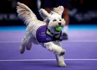 Dogs from the charity 'Canine Partners' act as ball boys during a Champions Tennis in London
