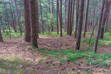 among the trees in the pine forest