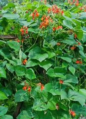 Blühende Feuerbohnen, Phaseolus coccineus