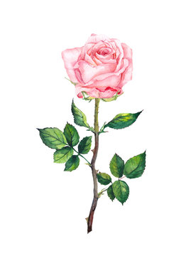 One pink rose with buds, leaves. Watercolor art