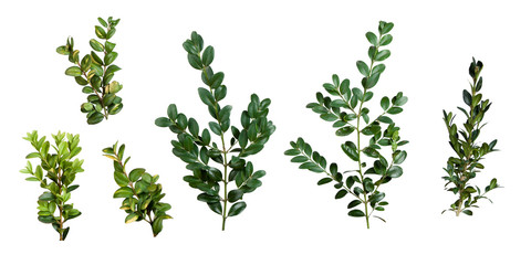 buxus sempervirens isolated on a white background