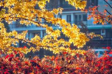 Red and yellow leaves at golden hour on a blurred nondescript building background