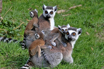 Ring-tailed Lemur, Lemur catta, the group is heated in the sun