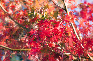 Red maple leaves in autumn in a park in Japan