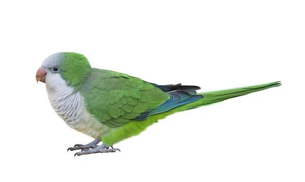 Monk parakeet (Myiopsitta monachus), isolated on White background