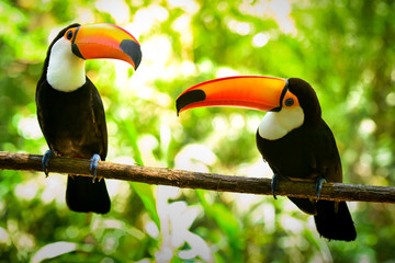 Two Toco Toucan Birds on the Branch in the Forest
