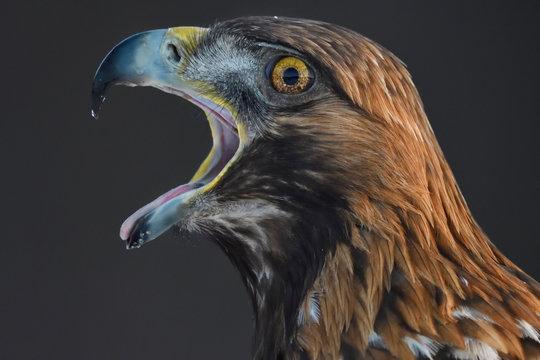 Golden Eagle bird portrait
