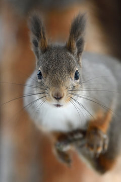 Close up of Eurasian red squirrel