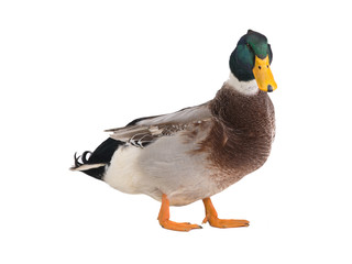 male brown duck isolated