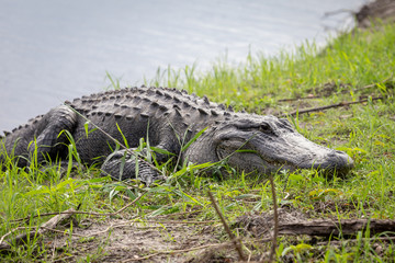 Alligator am Ufer