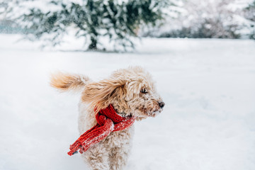 Cute and funny little dog with red scarf playing and jumping in the snow. Happy puddle having fun with snowflakes. Outdoor winter happiness.