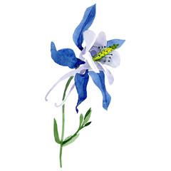Isolated blue aquilegia illustration element. Watercolor background illustration set. Floral botanical flower.