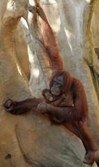 Newborn Borneo orangutan Banggi is held by his mother at Fuengirola's zoo