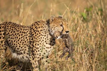 Cheetah with a newborn cub in its jaws