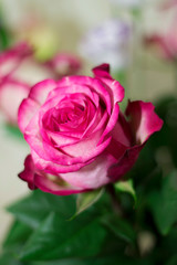 Pink and white blooming rose gifrt with love
