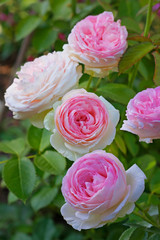 """Flowers of pink roses on the bush as a bouquet. Cream-pink rose """"Pierre de Ronsard"""" (Meilland)"""