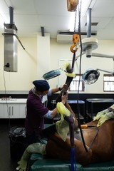 Surgeon examining a horse in operation theatre