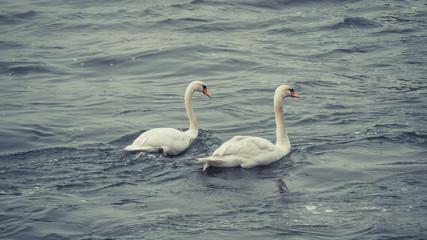 Lovely Swan Couple on the Rhine river in Bonn