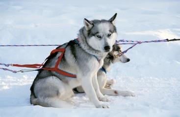 Sled dogs (chiens de traîneau), Canada