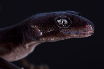 Wall Mural - Leopard gecko (Eublepharis macularius)