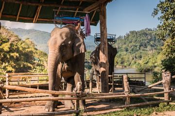 The elephant farm was reared for tourists,.Asian elephant