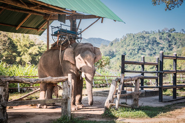 The elephant farm was reared for tourists,.Asian elephant