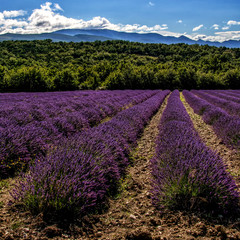 Photo Blinds Lavender Les lavandes