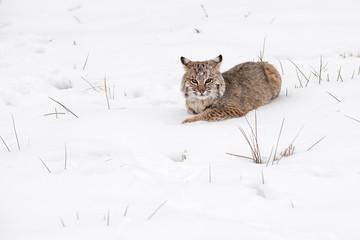 Wall Mural - Bobcat (Lynx rufus) in Snow Looking Grumpy