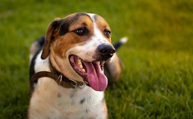 Cachorro da raça Foxhound ou americano