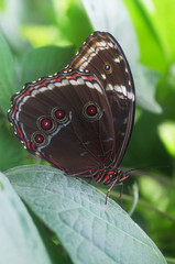 Tropical Butterfly Common Morpho