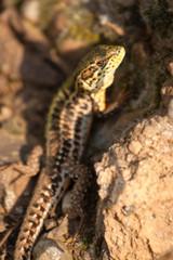Real lizard sitting on a stone illuminated by sunlight.