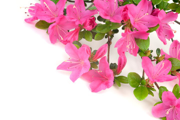 Pink Japanese Azalea isolated on white background. Selective focus. Bunch of many light pink color flowers.