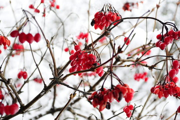 viburnum on a branch