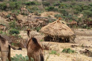 Fototapeta stara tradycyjna okrągła afrykańska chata pokryta słomą i pasące się obok stado dromaderów w etiopii obraz