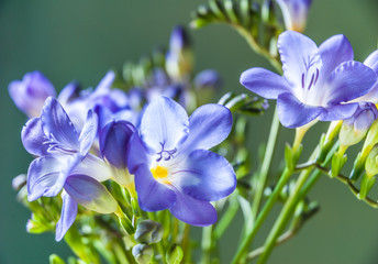 Blue freesia flowers isolated against a green background