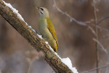 Grey-headed woodpecker sits on a snowy branch in the forest park on the first day of winter.
