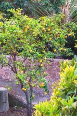 Fresh lemons on a tree