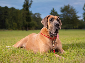 Great Dane resting on the lawn
