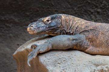 Komodo dragon close-up portrait. Komodo monitor (Varanus komodoensis), the largest lizard, lying on stone.
