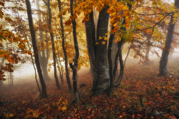 foggy forest. picturesque beech forest. autumn foggy morning