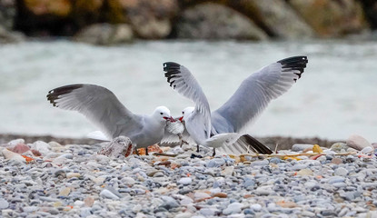 seagulls fighting over a fish